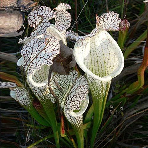 RETS Seeds: Freies Verschiffen 50pcs Nepenthes Pflanzen Mehrere Sorten von Hybrid-Bonsaipflanzen Hausgärten und Fleischfressende Pflanzen: Braun