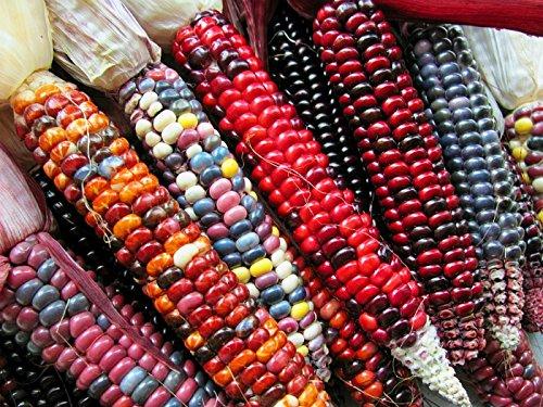 Graines semence maïs d'ornement colorés 4g grandes tailles potager /semences /fleurs
