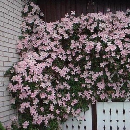 3 x Clematis Montana Rubens - 3 Pflanzen kaufen/2 bezahlen | 3 x 1,5 Liter Topfen - Kletterpflanze - Rosa, Mehrjährig & Winterhart | ClematisOnline Kletterpflanzen