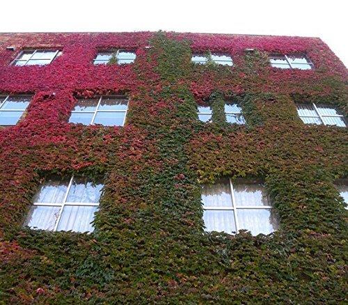 Boston Ivy Graines 100 pcs/lot 2016 Hot vente Livraison gratuite Fun Vert Rouge Boston Ivy Graines jardinage domestique en gros Livraison gratuite