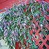 Portal Cool Happy Semi Wanderer Hardenbergia Violacea Fioritura scalatore Bulk 60 Seed Confezione #3