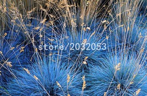 DIY 100 Graines jardin des plantes chinois broomsedge herbe Graines