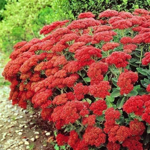 Qulista Samenhaus - Raritäten Fetthenne (Sedum Spectabile) Autumn fire bodendecker Blumensamen mehrjährig winterhart für die Sommerrabatte/Blumentopf/Terrasse