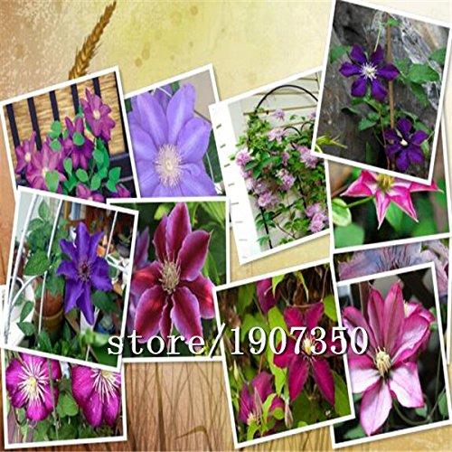 Big vente Hot vente 100pcs mélange de graines de clématites bonsaï graines de fleurs jardin à la maison DIY livraison gratuite