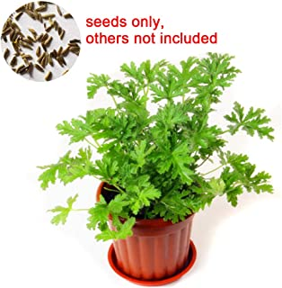 LOadSEcr's Garden 100Pcs Citronella Plant Seeds Mozzie Buster Mosquito Non-GMO Ornamental Plants Yard Office Decoration, Open Pollinated Seeds