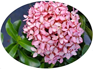 Pink Dwarf IXORA Miniature Taiwanensis Tropical Low Growing Flowering Shrub Live Plant Starter Size 4 Inch Pot Emerald tm