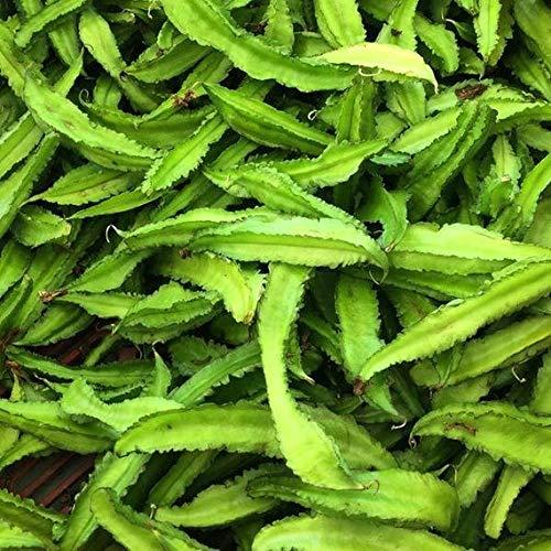 Semillas de sophocarpus tetragonolobus 25 semillas de frijol alado, semillas de frijol de Goa, semillas de judías de princesa