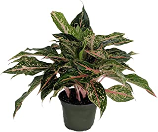 Sparkling Sarah Chinese Evergreen Plant - Aglaonema - Grows in Dim Light -6