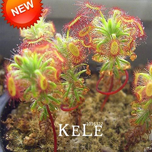 ! Förderung Super Multi Arten von Sonnentau Pflanze Flores Bonsai plantas Frische Cordyceps Neuheit Gartenpflanzen 100 PC/Satz, DPQLU5: Mix