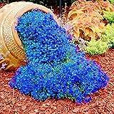 Semillas de Flores-500Pcs / Bolsa Semillas de berro de roca Fácil de cultivar Flores de cobertura de suelo Semillas de plantas de pastizales multicolores para césped - Azul