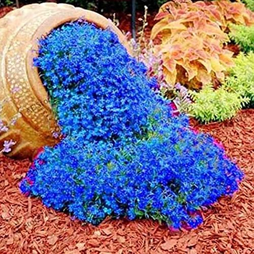 500 Stück Rock Cress Seeds Leicht zu züchten Bodendecker Blume Mehrfarbige Grünlandpflanzensamen für Rasen - Blau