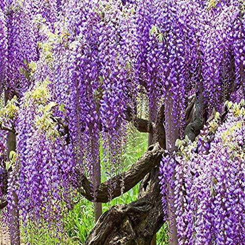 10 Pcs Purple Wịsteria - Wịsteria Sinensis - Purple Wịsteria Bonsai Tree SÉED - Fragrant Purple Flowers