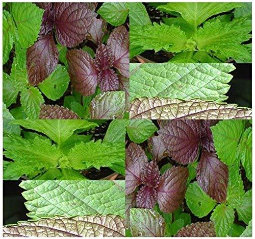(50) semillas verdes Shiso Perilla Herb - Perilla frutescens