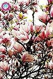 30pcs Rosa Comune Magnolia Pianta in vaso Full Range