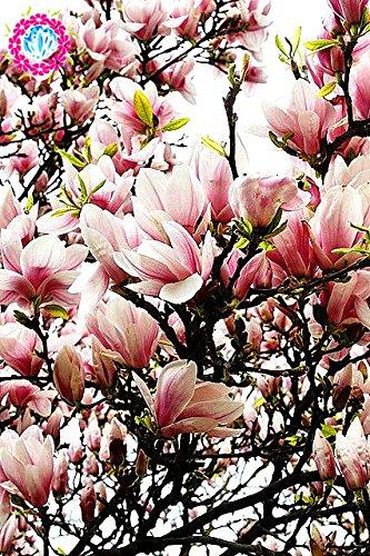 30pcs Rose commun Magnolia Plante en pot Gamme complète
