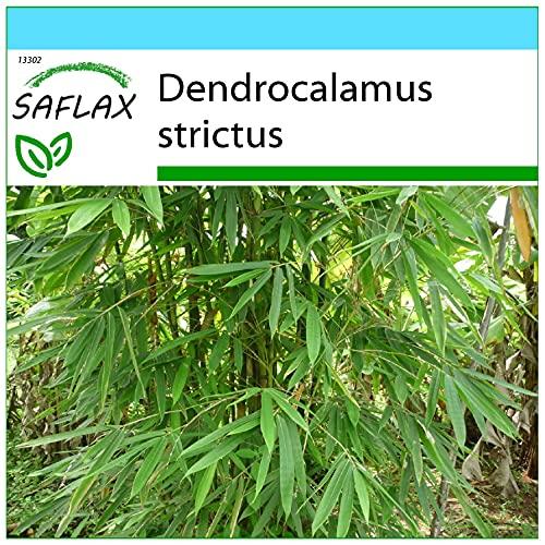 SAFLAX - Set regalo - Bambú de Calcuta - 50 semillas -...
