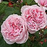 Parfuma Kiss me Kate Kletterrose, rosa, 12 x 12 x 40 cm