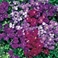 Outsidepride Aubrieta - Royal Mix