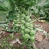 Kale Semillas, 100 piezas / bolso Semillas de col rizada fresca deliciosa verde chino Kai-lan plántulas de hortalizas de la granja