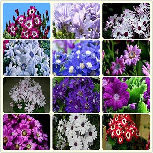 XINDUO Semences vivaces,Cineraria graines de Fleurs d'intérieur et d'extérieur-Bleu et Blanc_100 Capsules,Plantes de Jardin Décoration