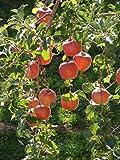 Dwarf Braeburn Apple Tree - Heavy producing, Easy Growing, and Delicious