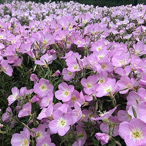 Semillas de macetas de Flores,Mes para Ver la Hierba en la Noche para descargar el Mosquito-Beautiful Moon_100g,perennes Semillas de Flores