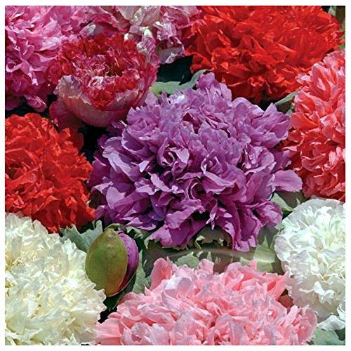 Lot de 100 graines de Poppies of the world Pavot Paeoniflorum Double - annuelle