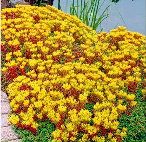 Tomasa Samenhaus- Selten Fetthenne (Sedum hybride) bodendecker Blumensamen Große Fetthenne Herbstfreude mehrjährig winterhart Kräuter Pflanzen bienenfreundliche Blumensamen Garten
