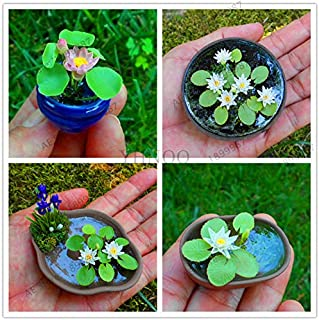 Plants Indoor Flowers Bonsai Mini Mixed Colors Available,Hydroponic Flowers Small Water Lily Garden Mini Lotus Plant Bonsai Flores Set hydrophyte-10 pcs (Random)