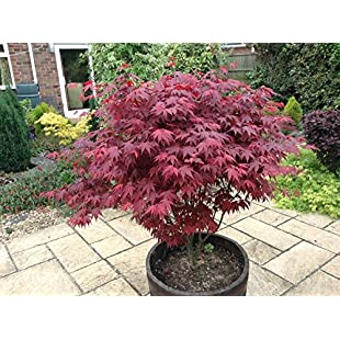 Japanese Purple Maple Tree 15-20cm Tall, Acer Palmatum Atropurpureum Plant in a 9cm Pot:Qukualian