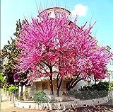10 pc/sacchetto Semi giapponesi sakura super-albero, semi di bonsai fiori Cherry Blossoms aperto giardino pentola pianta facile da coltivare