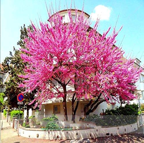 10 pcs/sac de graines de sakura japonais arbre super, graines de fleurs bonsaï fleurs de cerisier pot de jardin ouvert facile à cultiver