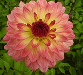 2 Dahlia Lake Tahoe Bulb Pink Yellow Red Color Flower Perennial Summer Blooming TkHoms36