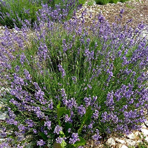 ca. 700 Samen Echter Lavendel Duftpflanze - Lavandula angustifolia, kann 20 bis 30 Jahre alt werden