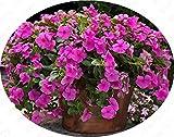 Vinca Pervinca (Catharanthus roseus) semi - Rare bonsai da interno semi di pervinca fiori per pianta casa giardino 20Seeds / bag
