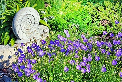 Karpaten-Glockenblume 100 Samen, Campanula Carpatica Blue