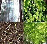 Big Pack - (1,000) Dawn Redwood Tree Seeds - Metasequoia glyptostroboides - by MySeeds.Co (Big Pack - Dawn Redwood)