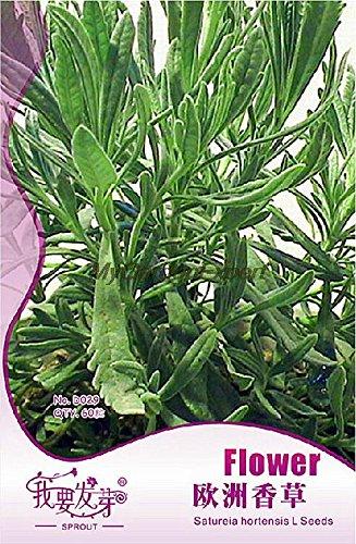 Vente chaude 60pcs Satureia Hortensis Seed, Vernal Semence à gazon, Summer Savory, Vanilla Seed Livraison jardin Plante en pot gratuit