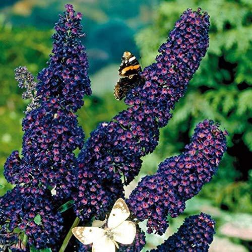 Qulista Samenhaus - Selten Bienenweide Blau Schmetterlingsstrauch Summer Bird® 'Blue' duftend für Bienen und Schmetterlinge Zwerg-Sommerflieder Blumensamen winterhart mehrjährig für Balkon