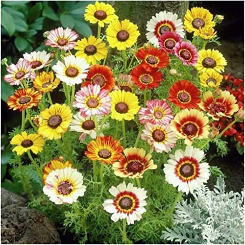 Painted Daisy Seeds - Chrysanthemum Carinatum, 5000 Seeds by Seeds2Go