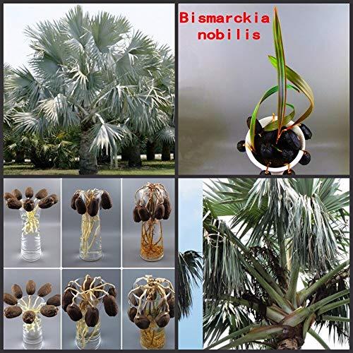 Ferry 3pcs / Bag frische Seltene Bismarckia nobilis - Silber Bismarck Palm Semillas