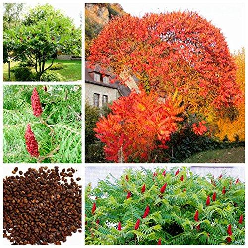 Real Seed 100 PC Rhus Typhina Samen Essigbaum Baum Samen blühende Pflanze Starke Anpassbarkeit Hirschhorns Sumach Seeds