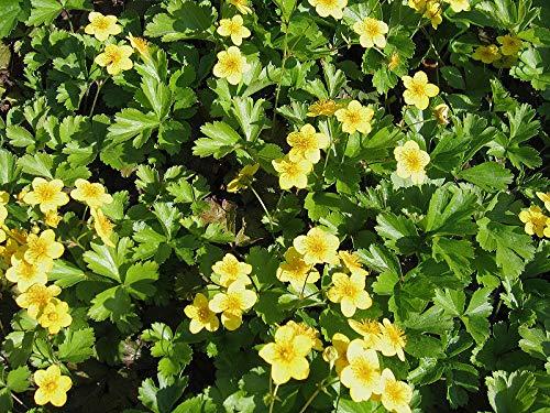 Waldsteinia ternata Dreiblättrige Matten-Waldsteinie immergrüner Bodendecker mit gelben Blüten im Topf gewachsen (10 Stück)