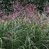 Foerster-Staude Chinaschilf Silberspinne im 3er-Set Sichtschutz Staude Sonne Miscanthus sinensis im 0,5 Liter Topf 3 Pflanzen