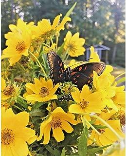 100 Seeds Swamp Marigold Flower Beggar's Ticks/Tickseed Fast Growing Butterflies #CD02