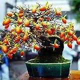 20pcs / bag raras japonesas Semillas de frutas de caqui Árbol de Bonsai - Diospyros kaki semillas en macetas semillas de frutas planta de jardín de casa