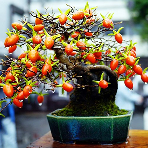 20pcs / bag Seltene japanische Persimmon Obstbaum Bonsai Samen - Diospyros Kaki Persimmon Topf Samen Fruchtsamen Pflanze Hausgarten