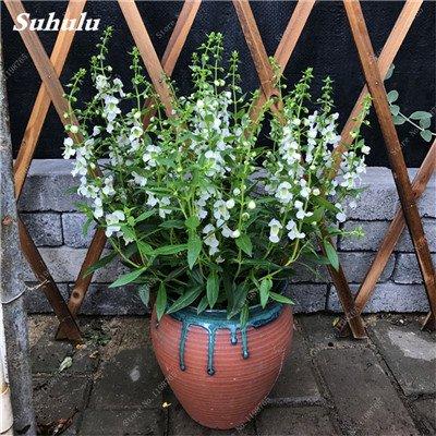 100pcs Belles aromatiques gypsophile Graines vrai étoilées fleurs en pot Gypsophila paniculata All Over The Star Sky Bonsai Fleur 16