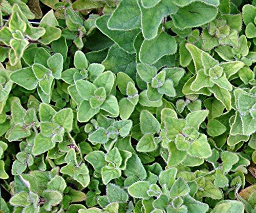 Oregano mart SẸẸDS It is very popular for Plạnting Greek Heirlà -