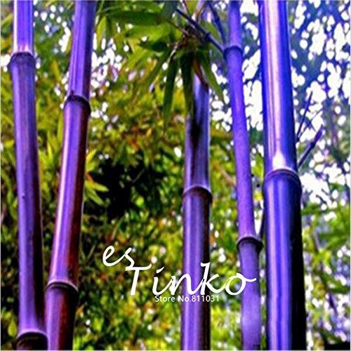 50pcs envío raras semillas de bambú púrpura Phyllostachys Nigra ornamental Bonsai Semillas Planta de tiesto jardín de DIY gratuito